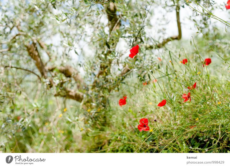 Olives and poppies Vacation & Travel Summer Summer vacation Environment Nature Plant Beautiful weather Tree Flower Bushes Leaf Blossom Foliage plant