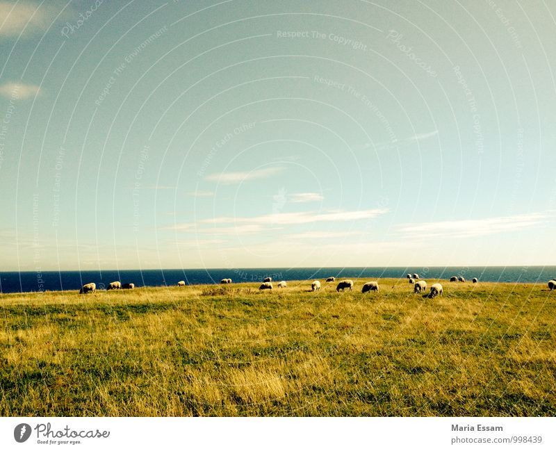 May be on Nature Landscape Earth Water Sky Horizon Grass Meadow Hill Coast Baltic Sea Dike Sweden Animal Sheep Flock Herd Blue Green Contentment Responsibility