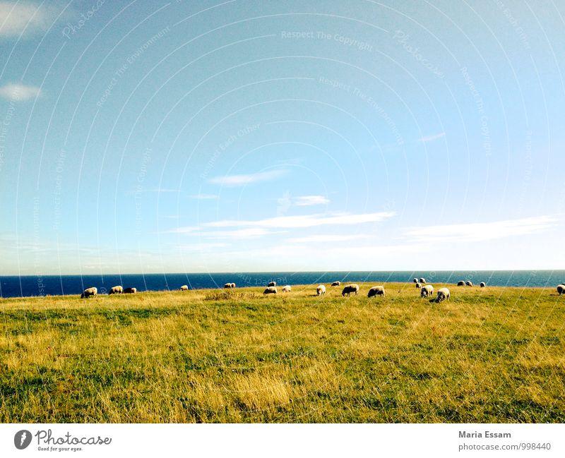 One ferry Nature Landscape Sky Beautiful weather Grass Meadow Coast Baltic Sea Ocean Sweden Scandinavia Animal Farm animal Sheep Flock Herd Blue Green