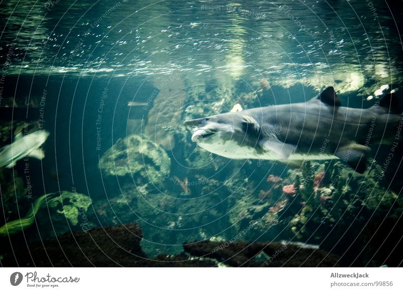 Old Water Ocean Gray Fear Large Dangerous Action Fish Threat Dive Set of teeth Appetite Evil To feed Meal