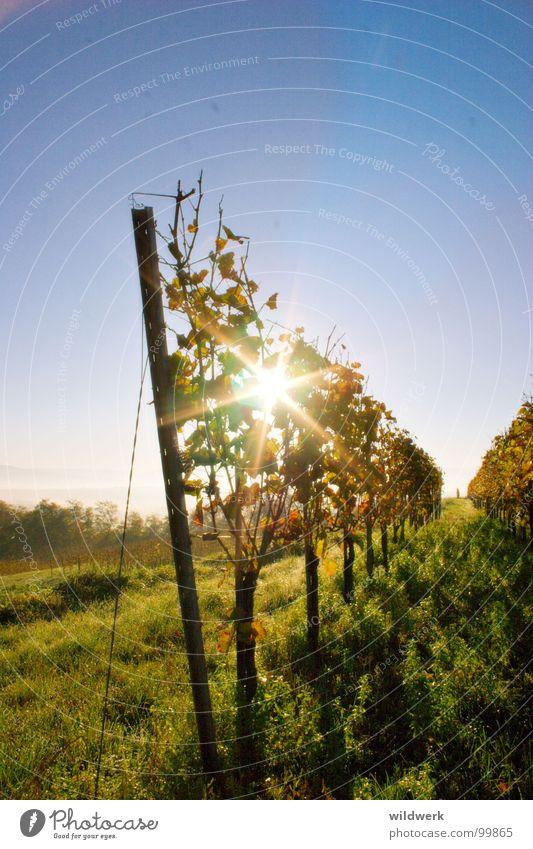 Spoiled by the sun Vine Kaiserstuhl Autumn Green Alcoholic drinks Ihringen Sun Blue