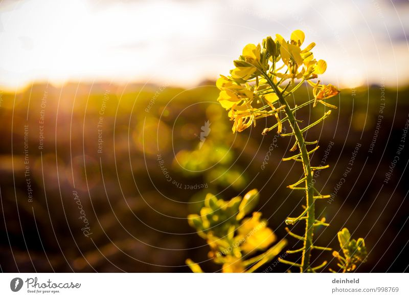 rapeseed Nature Plant Sun Sunrise Sunset Sunlight Flower Blossom Agricultural crop Oilseed rape flower Canola field Field Blossoming Growth Authentic Elegant