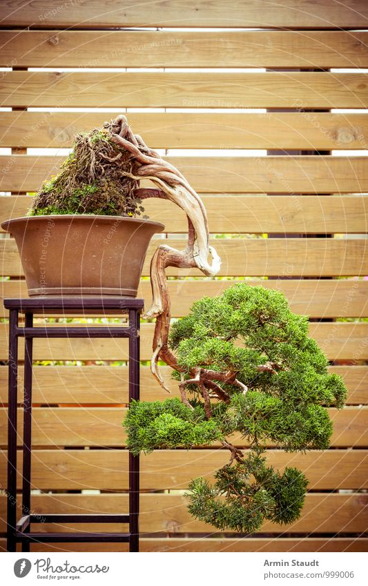 BONSAI! Design Exotic Culture Nature Plant Tree Old Growth Esthetic Exceptional Natural Brown Green Emotions Passion Patient Senior citizen Effort Eternity