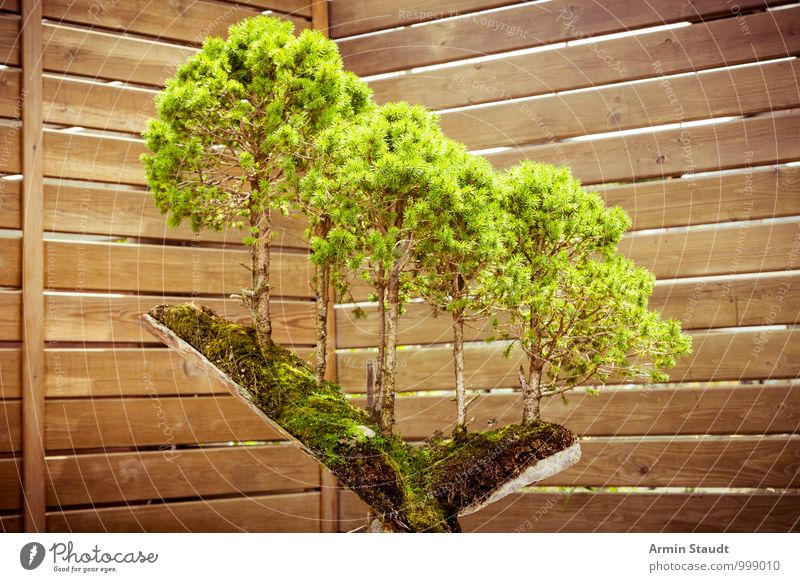 BONSAI! Nature Plant Tree Bonsar Tree stump Growth Old Esthetic Exceptional Exotic Natural Beautiful Brown Green Emotions Passion Patient Effort Eternity
