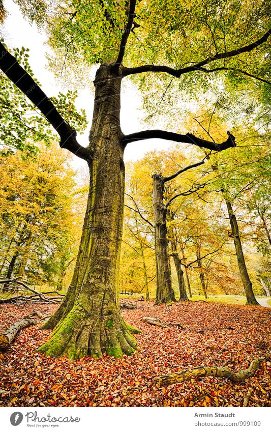 HDR Recording - Autumn Forest Environment Nature Landscape Tree Beech tree Beech wood Autumn leaves Woodground Stand Faded To dry up Esthetic Authentic