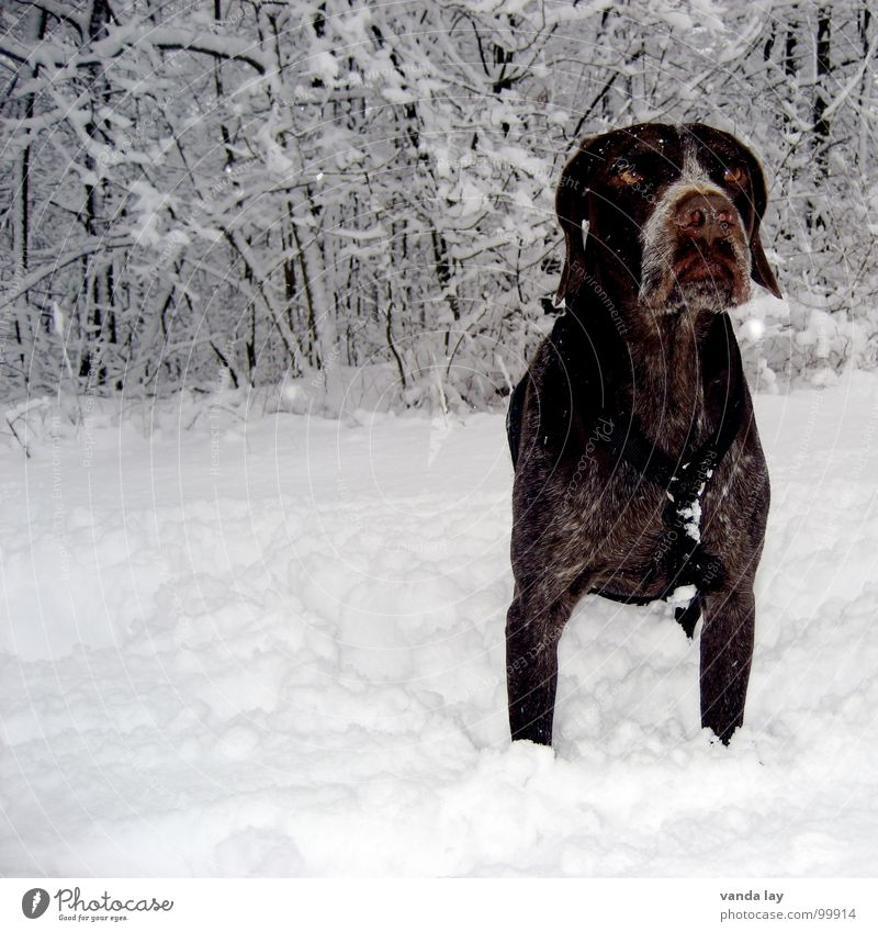 Dog Winter Animal Forest Eyes Cold Snow Air Ice Weather Signs and labeling Bushes To go for a walk Branch Trust Hunting