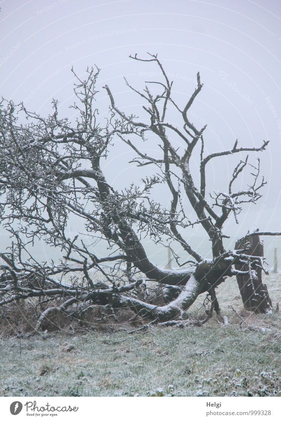 Rest after the storm... Environment Landscape Plant Winter Fog Snow Tree Grass Tree trunk Branch Meadow Freeze Lie Authentic Exceptional Cold Natural Gray Green