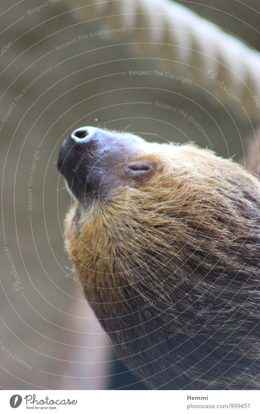 Animal Black Brown Cute Curiosity Firm Animal face Zoo Petting zoo Sloths