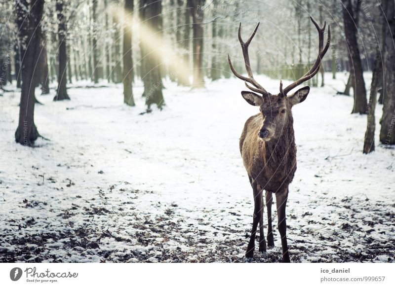In view Environment Nature Landscape Plant Animal Ice Frost Snow Snowfall Forest Wild animal Deer 1 Discover Relaxation Hunting Colour photo Subdued colour