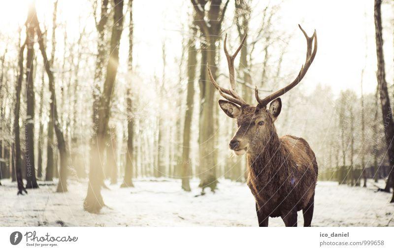 winter romance Environment Nature Landscape Plant Animal Sun Sunlight Winter Ice Frost Snow Snowfall Wild animal Deer 1 Emotions Happy Contentment Trust Loyalty