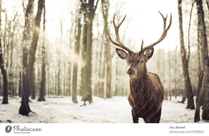 Nature Beautiful Animal Winter Environment Snow Snowfall Elegant Power Wild animal Esthetic Cool (slang) Zoo Willpower Winter vacation