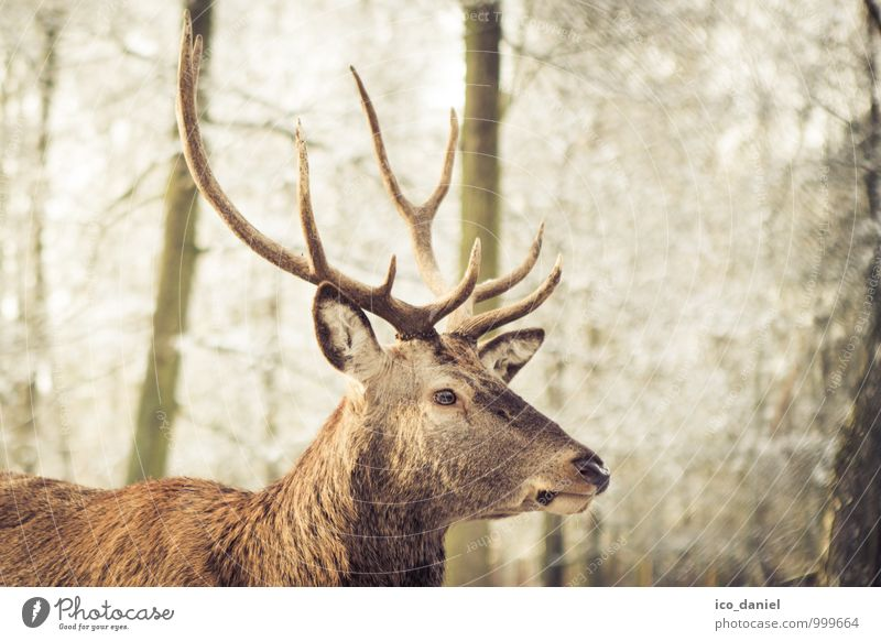 Stag II Environment Nature Winter Park Forest Animal Wild animal Animal face Deer 1 Catch Hunting Curiosity Cute Brown Contentment Joie de vivre (Vitality)