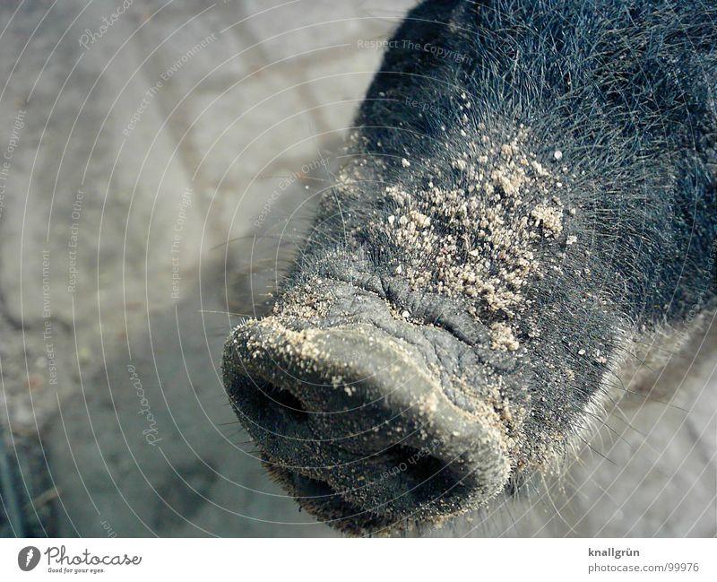 Animal Gray Sand Nose Zoo Cobblestones Mammal Swine Socket Bristles Trunk Nostril Even-toed ungulate Pig's snout