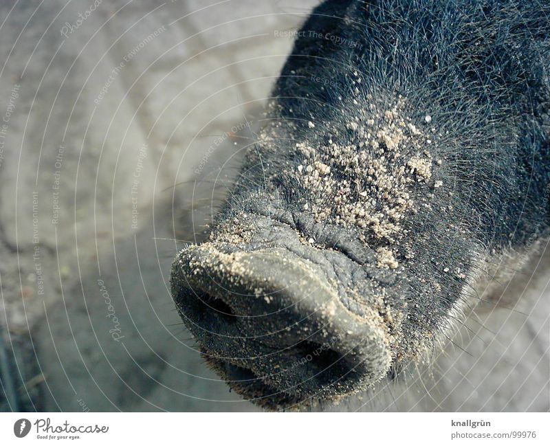 Sand on nose Swine Zoo Gray Animal Trunk Socket Nostril Pig's snout Even-toed ungulate Bristles Mammal Husum protest pig Cobblestones Nose